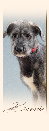 Irish Wolfhound Bonnie mes Amies de Mafinns
